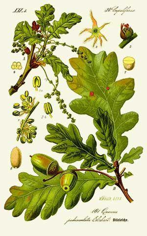Chêne pédoncule | Remèdes de Grand-Mère