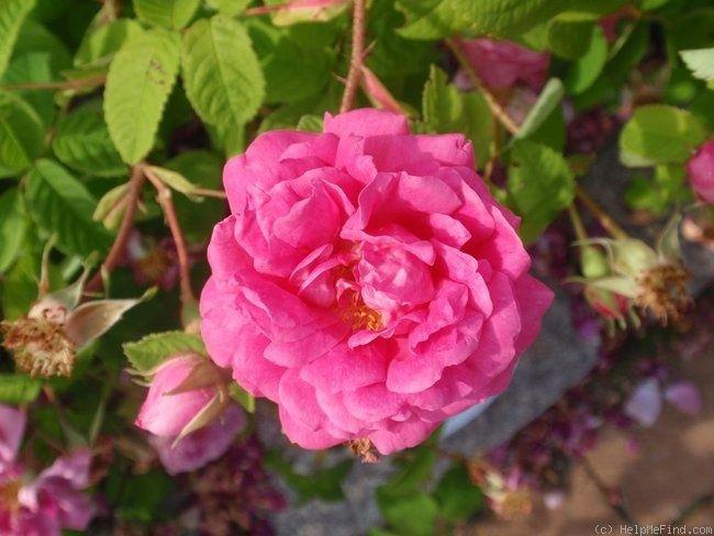 """""""Pikkalan Kaunotar"""" Rose Photo"""