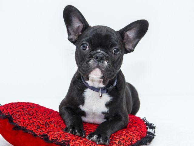 Черный щенок французского бульдога лежит на красной ...