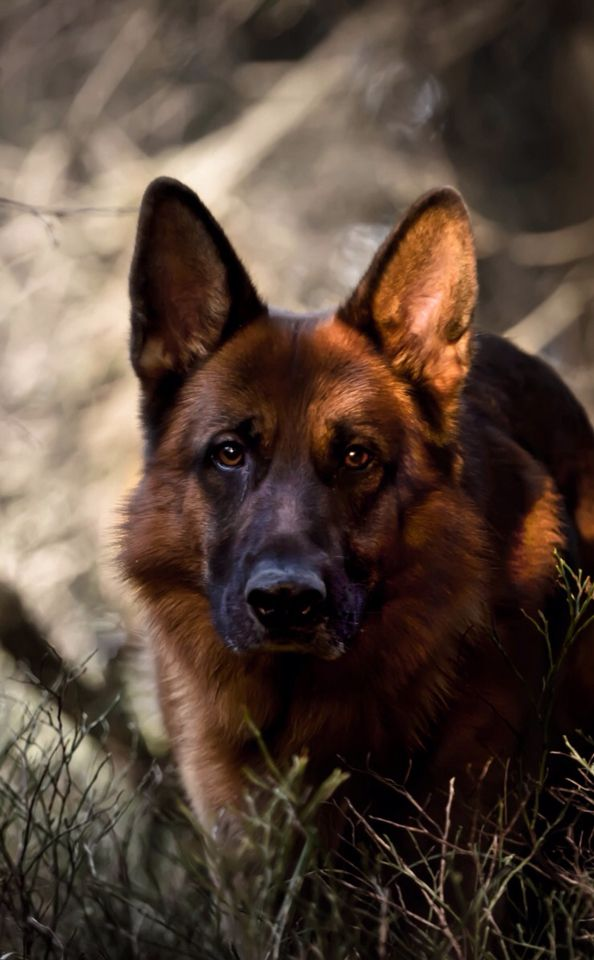 German Shepherd Army Dogs Adoption