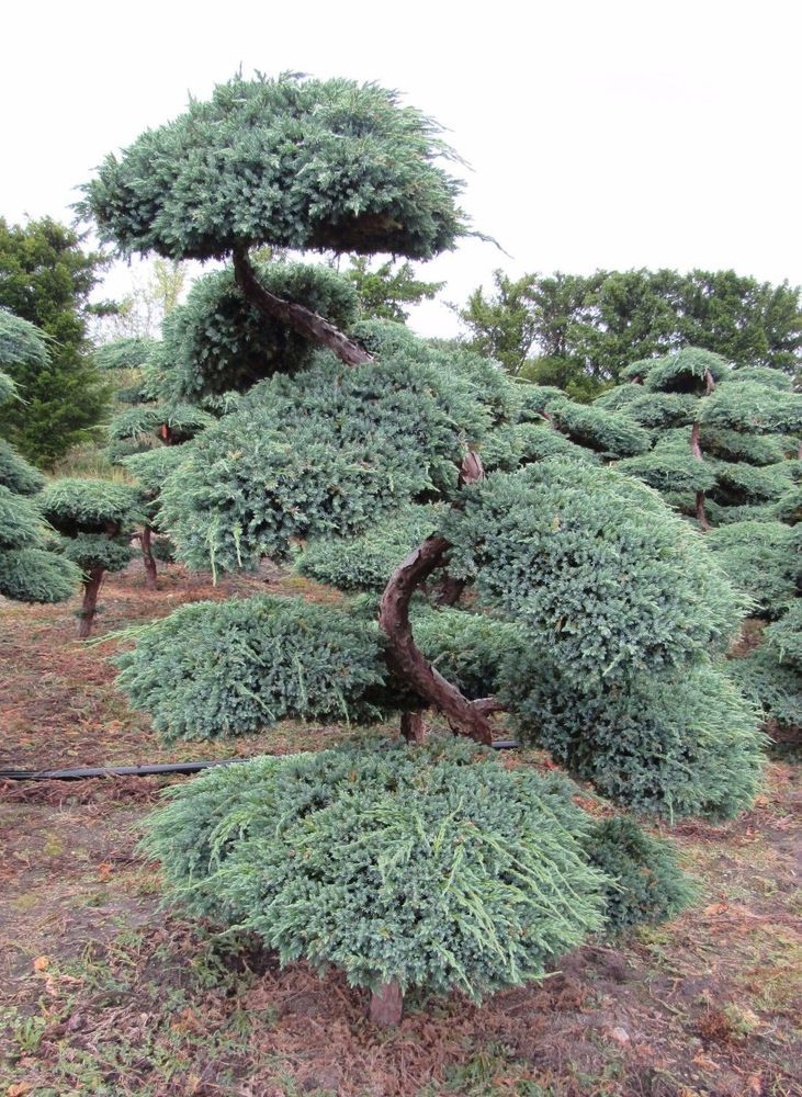 424 best evergreen small trees for texas zone 8 images on for Bonsai versand