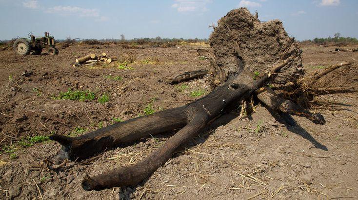 Cargill und Burger King zerstören Wälder im Gran Chaco