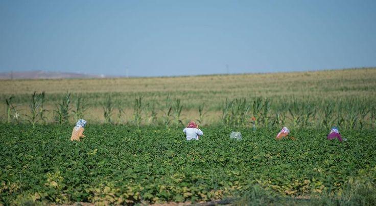 Suruç Ovası Yeşile Büründü   Güneydoğu Anadolu Projesi eylem planı kapsamında hayata geçirilen Suruç Ovası pompaj sulama projesiyle suya kavuşan Suruç Ovası'nda ürün çeşitliliği ve verim arttı. Bölgede yalnızca buğday, arpa ve mercimek gibi ürünleri yetiştiren çiftçi, su sorununun giderilmesiyle patlıcan, biber, domates, sarımsak, nane ve yeşil fasulye gibi tarım ürünlerine de yöneldi.