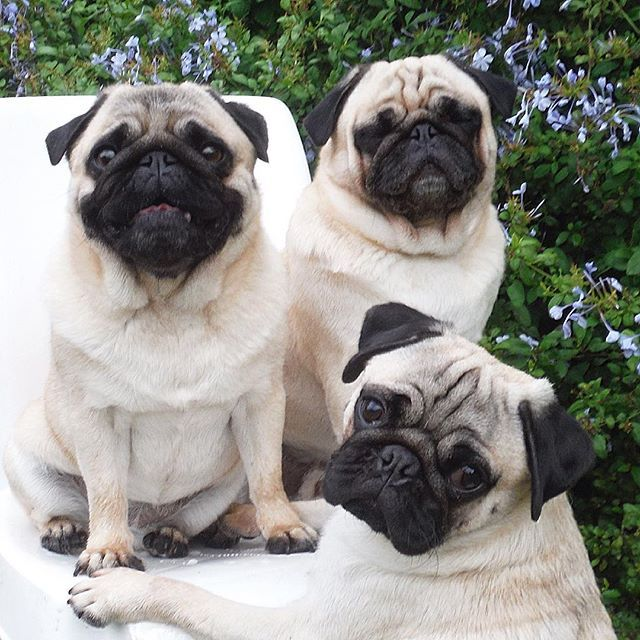 When You Lose At Musical Chairs Pet Pug Cute Pugs Pugs Funny
