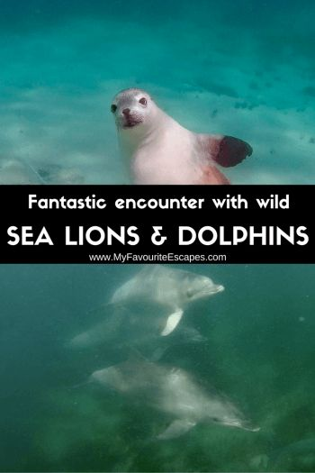 Off the bucket list: Playing with wild Sea Lion and swimming with wild dolphins (South Australia)