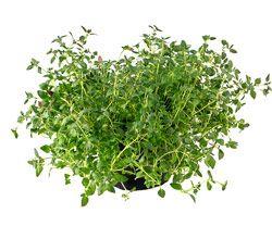 Thyme: Home Remedies, Herbal Remedies, Homesteads Gardens, Herbs Gardens, Health, Natural, Parties Thyme, Herbal Medicine, Growing Thyme