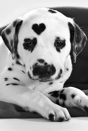 Heart-shaped Dalmatian spot. crescentmoon b & w