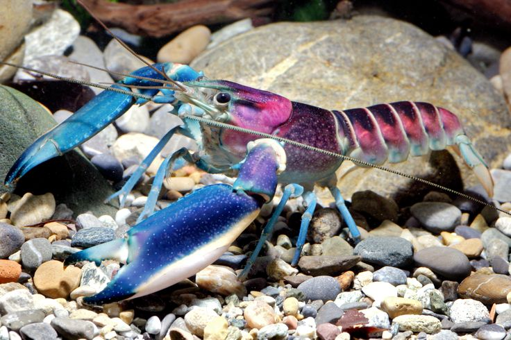 The newest crayfish species looks like a Lisa Frank creation Share on Facebook Share on Twitter Share on Google Plus Share via Email More Options Resize Text Print Article Comments 12