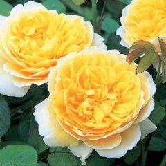 Charlotte - David Austin Roses