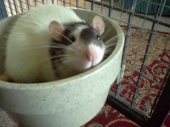 Dumbo Rat Cage Tour