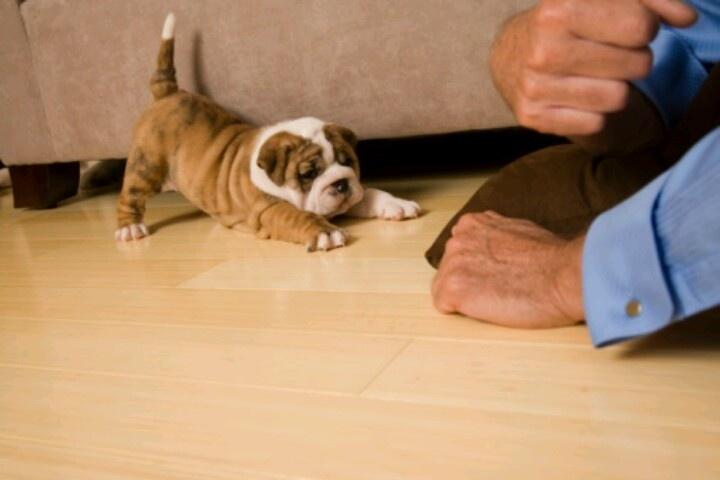 Playful teacup bulldog