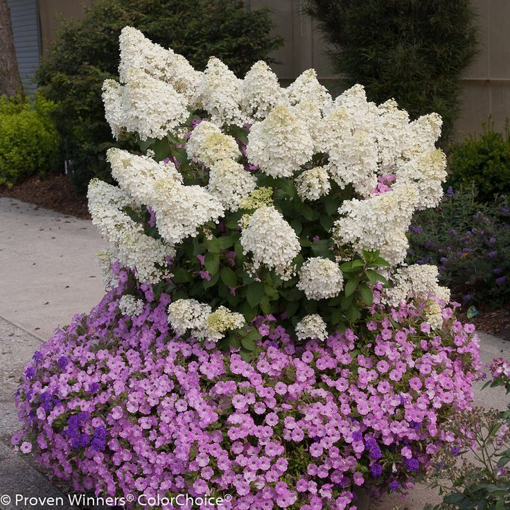 best 25 hydrangea paniculata ideas on pinterest white. Black Bedroom Furniture Sets. Home Design Ideas