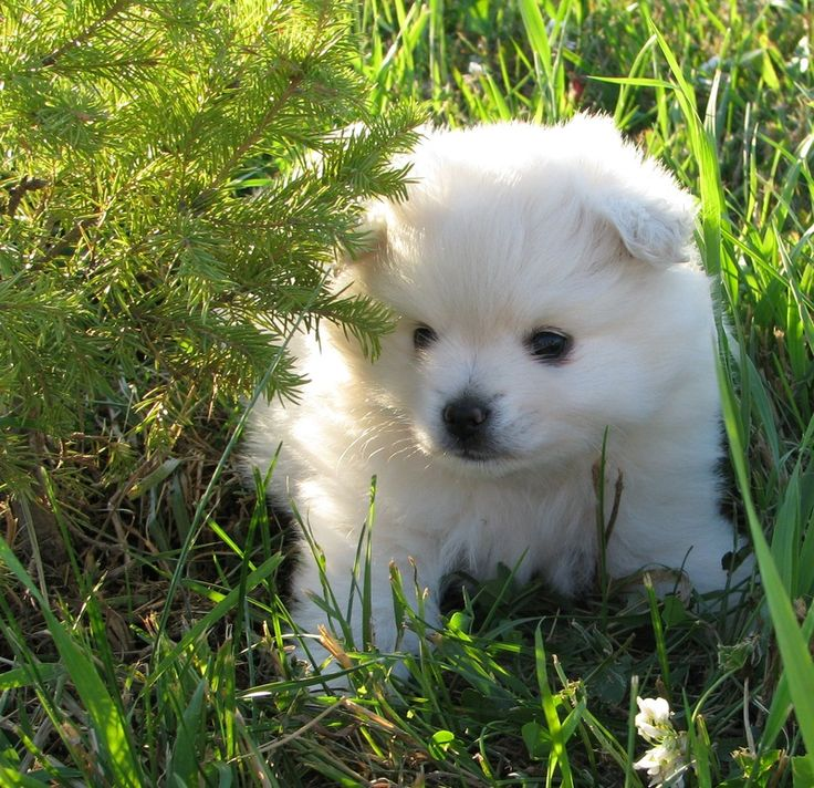 A little to medium-size Nordic-type dog, the American Eskimo Dog is recognized for its vibrant white coat, jet black points (lips, nose and eye rims) and erect triangular ears.