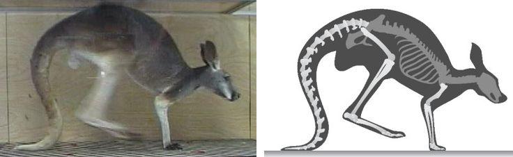 Five-legged kangaroo? Telling the tale of a kangaroo's tail -- ScienceDaily