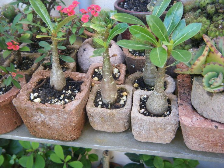 Venta de bonsai pre bonsai tiestos hypertufa, Venta de bonsai, tiestos y herramientas en el area de Carolina Puerto Rico. Regala un bonsai! Tiestos de hypertufay. Venta al por-mayor Bonsai for gifts Hypertufa Pots Carolina, PR Los Minis