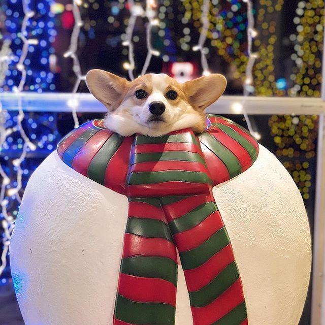 Senpai Knows Corgi Dog Corgi Christmas Pembroke Welsh Corgi