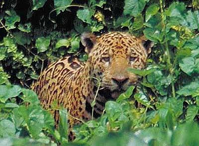 Panthera onca, onça-pintada - Zoológico Virtual da Fauna Brasileira - Brazil Nature