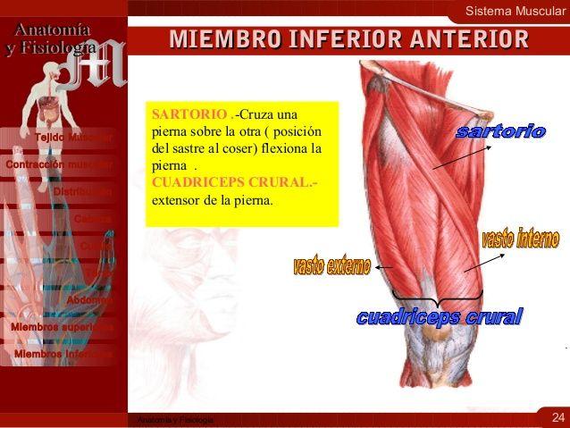 Sistema Muscular 24 Contracción muscular Distribución Cabeza Cuello Tejido Muscular Tórax Abdomen Miembros superiores Miem...