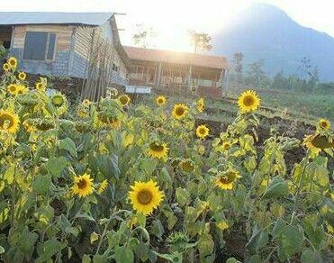 pagi hari di kebun bunga matahari batu malang
