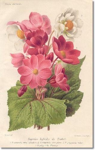 Revue Horticol - Botanical Prints - Illustrated Book Plate Illustration from Revue Horticole 1800s - Botanical Print - 17 - BEGONIA Painting