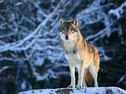 Resultado de imagen para lobos imagenes