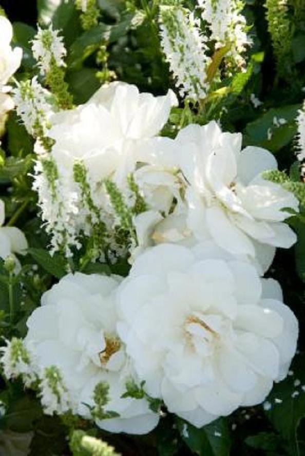 rosa 39 schneewittchen 39 white rose salvia nemorosa. Black Bedroom Furniture Sets. Home Design Ideas