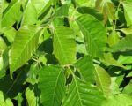 """Swede had """"the worst case"""" of poison ivy and was in extreme pain from a blistering rash. If homeopathy couldn't help, she was heading straight to the emergency department. Read what happened next."""