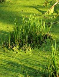 How to Control Pond Algae: How pond algae can ruin the appearance of a pond and can also harm aquatic plants and wildlife that live in the pond. How the control of pond algae always begins with…...