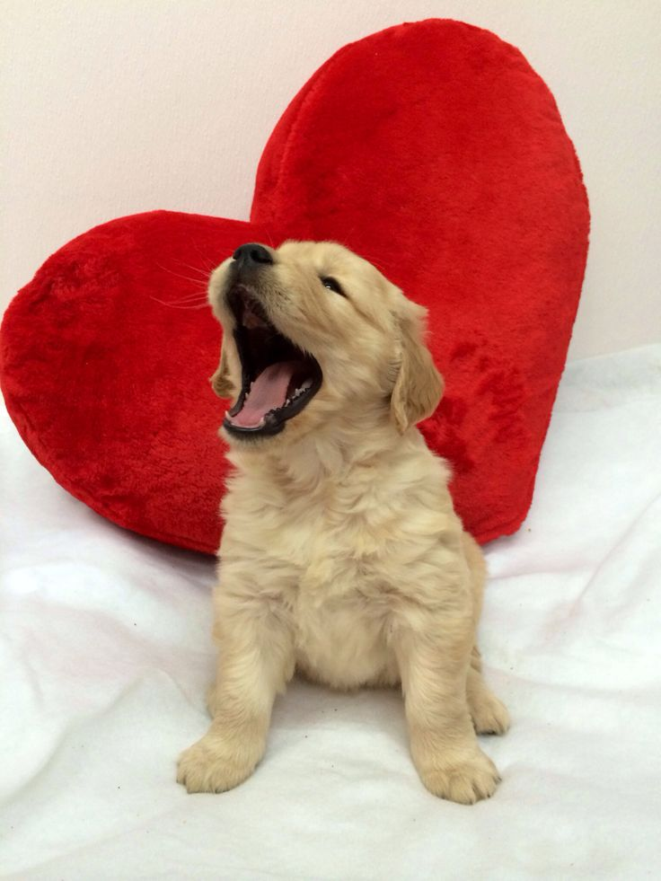1171 best golden retriever pups breeders images on - Valentines day pictures with puppies ...