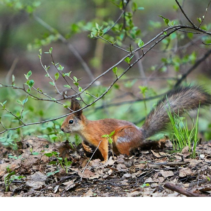 #белка #squirrel