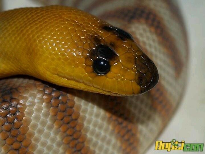 Woma or Sand Python
