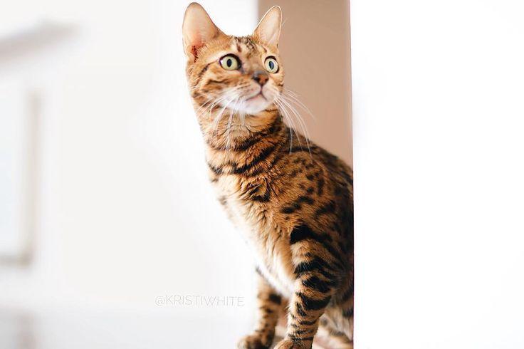 Доброе утро, передаём вам мы 🖖 С таким выражением лица мы встретили снежок по колено и минус ❄️ Да, я в курсе , что зима в самом разгаре , не переживайте , мы просто пару дней назад наблюдали почки на деревьях😹 А кто не знаком welcome - Луча 😻#bengal #bengalcats #catsofinstagram #IG_bengals #bengalcatworld #bengal_cats