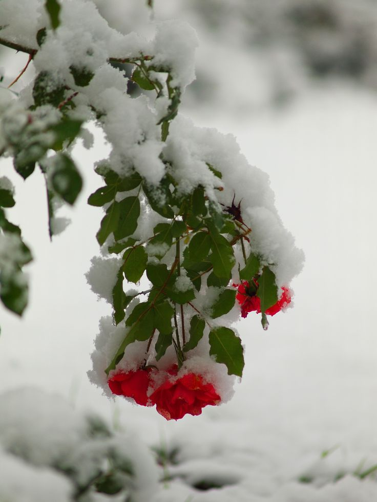 First snow - Roses frozen flowers.