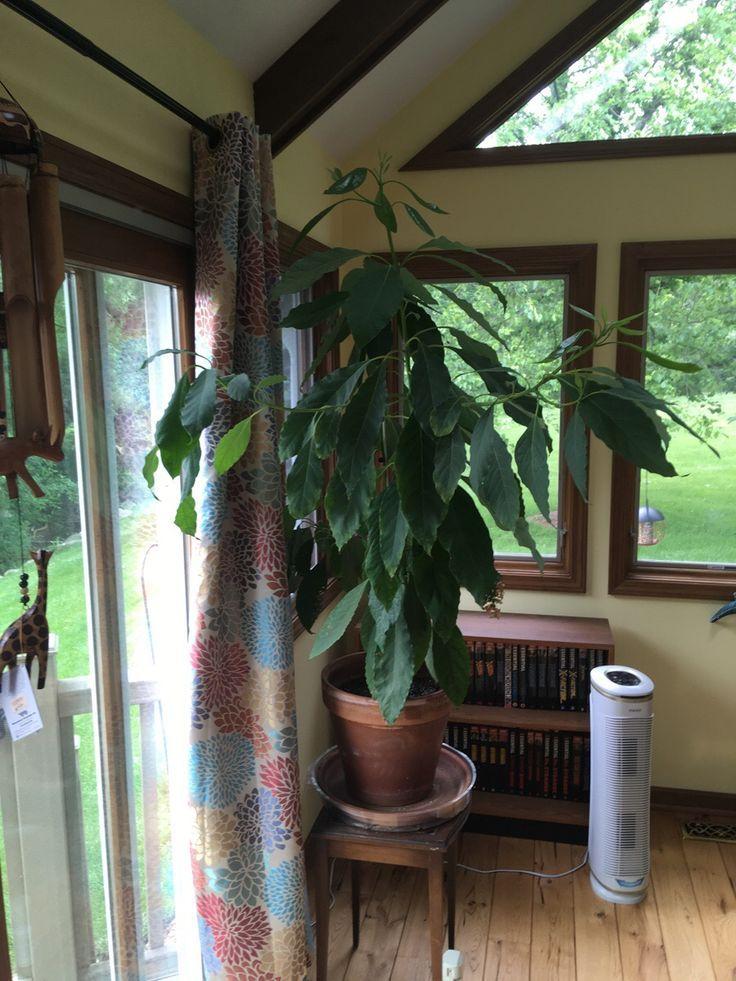 Das ist Arthur, meine Avocado-Pflanze. #gardening #garden #DIY #home #flowers