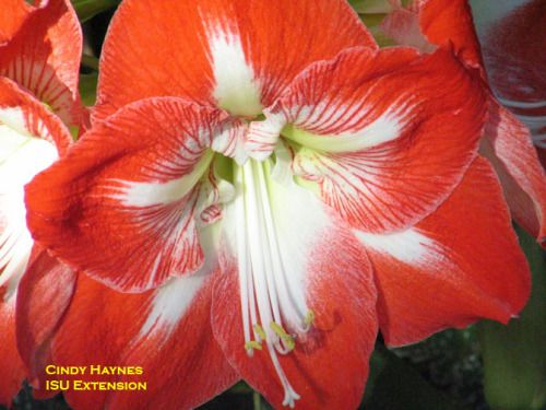 Amaryllis Flower. How to care for bulb after flowering and how to get it to flower again.