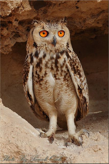 Pharaoh Eagle-Owl(Bubo ascalaphus)  Pharaoh Eagle Owl-البومة النسارية  Sameh Odeh