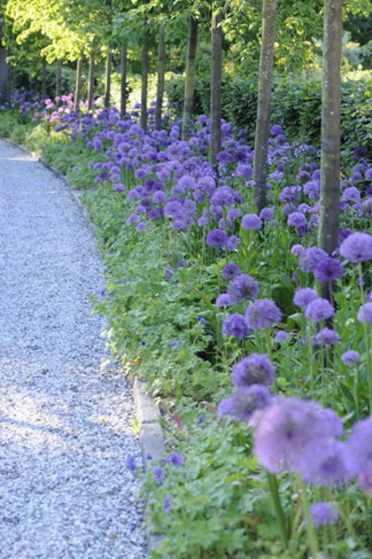 Light blue Alium planted under raised trees edge a grey gravel path
