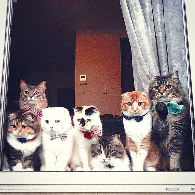 A window full of handsome and exotic cats. Look at the all-white Scottish Fold!