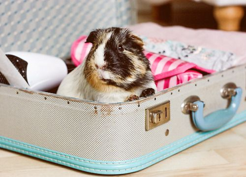 Guinea pig: an essential on everyone's packing list