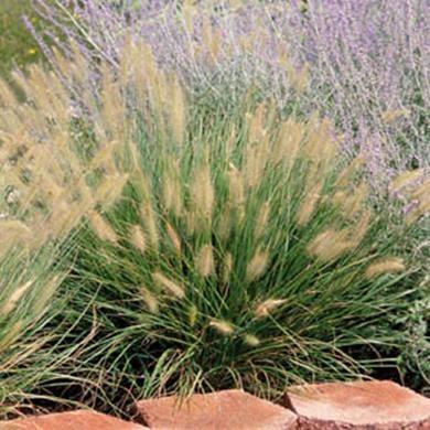 Dwarf Fountain Grass, Pennisetum hameln