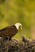 Eagle at the nest!