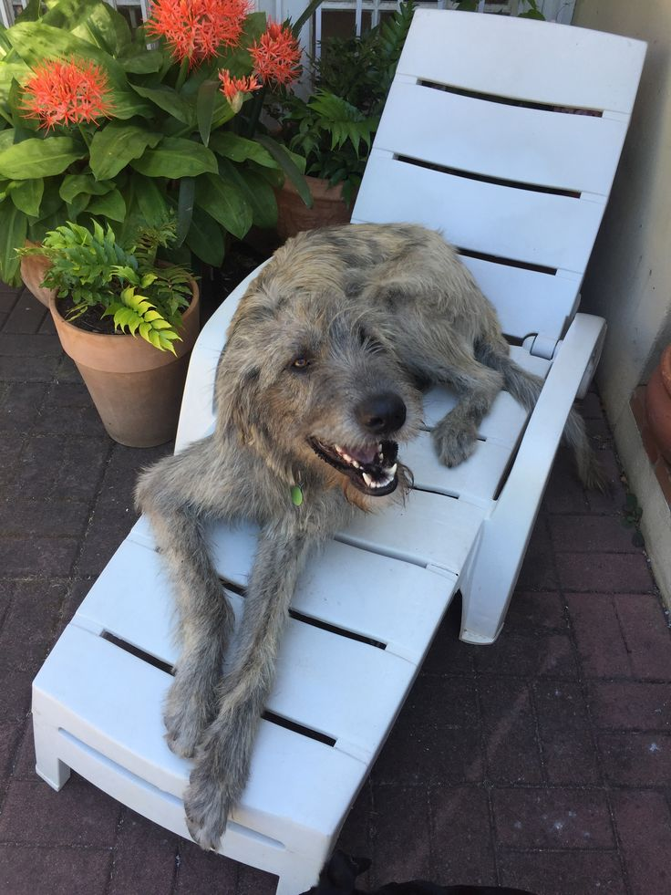 Eddy chilling at the pool. Look at that smile! #capetown #irishwolfhound