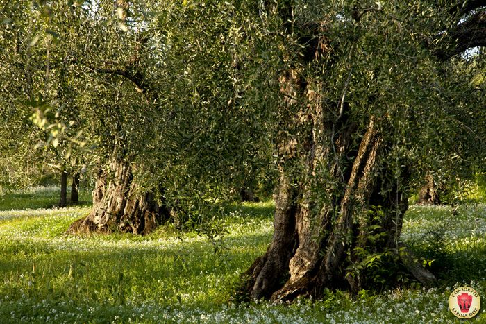 Old aged olive trees of Sabina