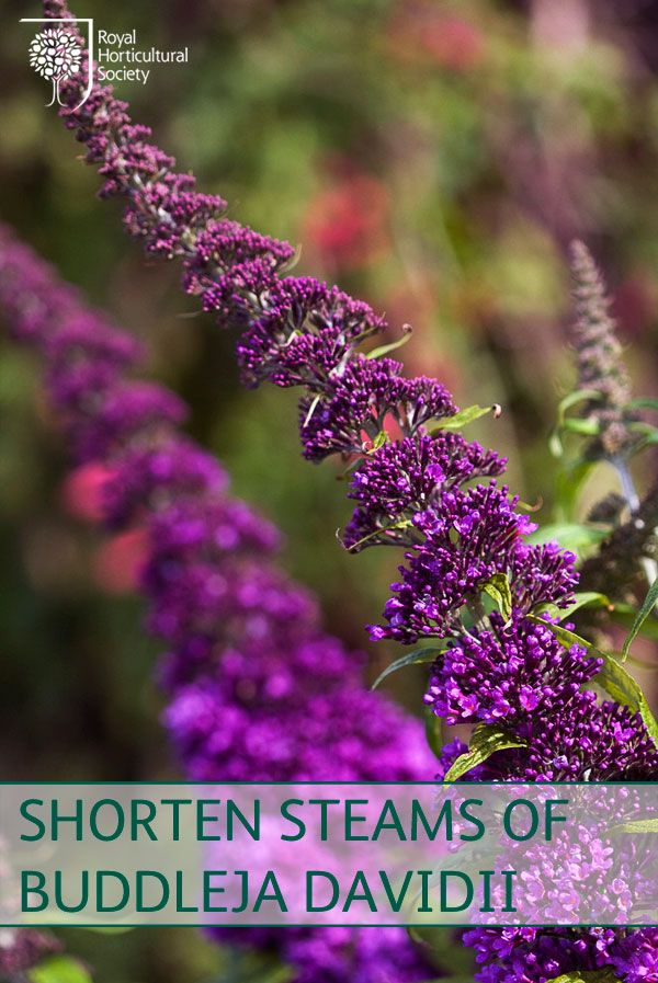 Royal Horticultural Society (RHS) - Shorten stems of Buddleja davidii to within two to three pairs of buds. Prune other summer-flowering shrubs now.