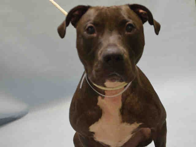 ●8•21•16 SL●RAZOR - #A1086087 - Urgent Brooklyn - NEUTERED MALE BLACK/WHITE AM PIT BULL TER MIX, 2 Yrs - OWNER SUR - EVALUATE, HOLD FOR ID Reason BITEPEOPLE Intake 08/19/1 Due Out08/19/16