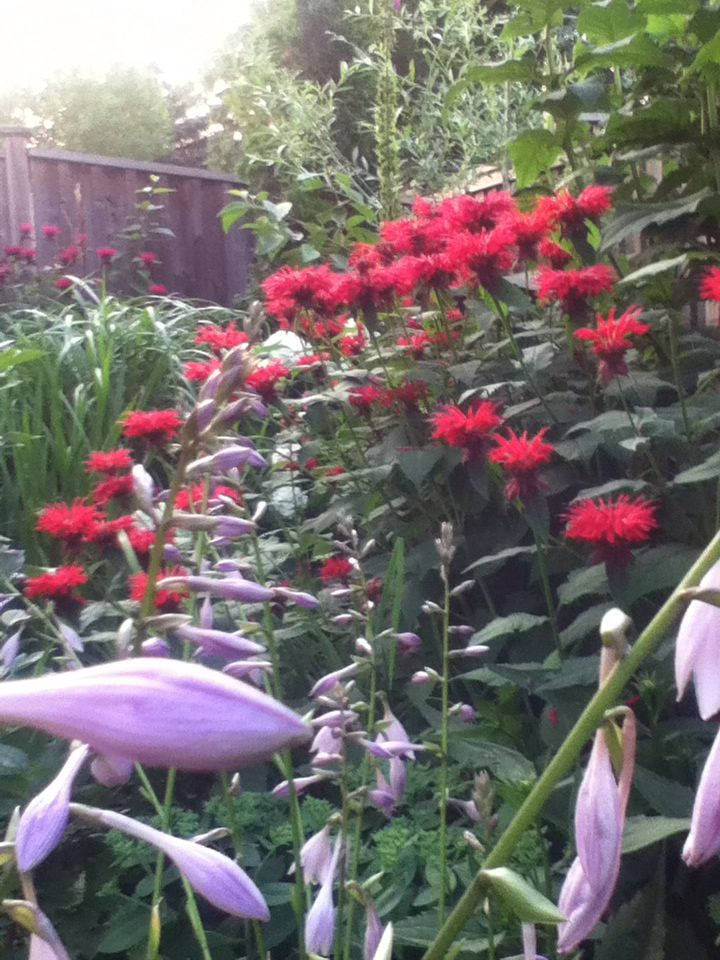Monarda with hosta flowers in the foreground.