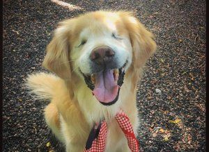 Best Smiley The Golden Retriever St John Ambulance Therapy Dog - Born blind smiley the golden retriever becomes a loving therapy dog