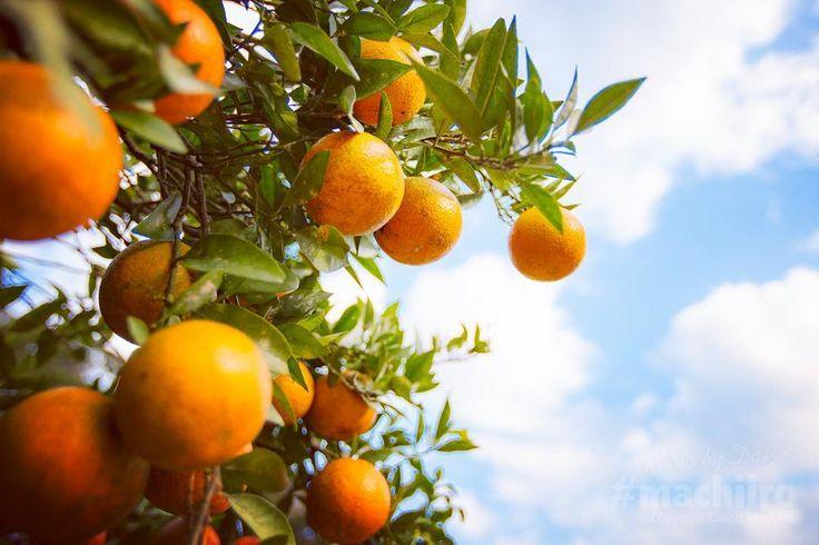 奄美大島の果樹園ではタンカンがたわわに実っています 去年のミカンコミバエ問題を乗り越えて今年は美味しいタンカンが食べられることでしょう #タンカン #奄美大島 #美味しい #果樹園 #空 #写真 #マチイロ #tankan #fruit #amami #tropical #orange #sky #photo #machiiro #canon #5d