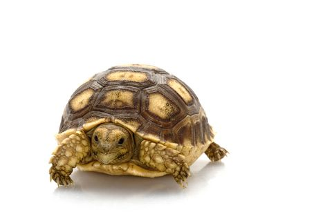 Baby Sulcata Tortoise. I want one so bad!