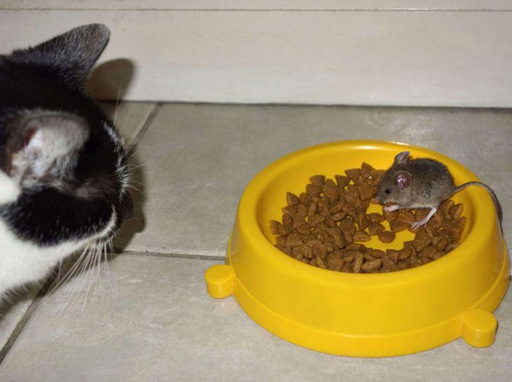 Situation cocasse : Mango le chat reste coi devant une souris qui commet pourtant l'outrage de manger dans sa gamelle de croquettes. Photo prise par Chris Brown, le maître de ce félidé peureux, à Brighton, sur la côte anglaise. (Rex Features/SIPA)
